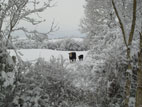 Cow and Calf in field with heavy snow