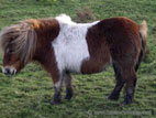 Shetland pony, brown and white