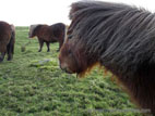 Shetland pony close up of face