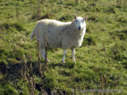 Sheep standing in rough grass