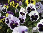 Pansies in full flower