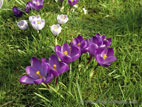 Purple and white flowering crocuses close up