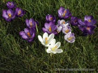 Purple and white crocus flowers