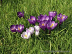 Purple crocuses in lawn