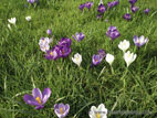 Crocuses flowering in lawn