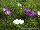 Crocus flowers in grass