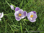 Close up of light purple crocus flower