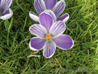 Close up of light purple variegated crocus flower