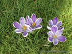 Close up of light purple crocus flowers