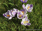 Close up of light variegated purple crocus flowers