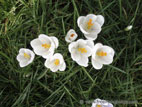 White crocuses in lawn