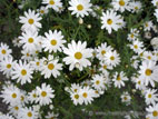 White daisys in large display