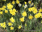 Daffodils in full flower