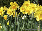 Group of yellow daffodils in flower