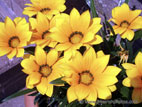 Yellow Gazania in bloom