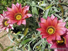 Pink Gazania in full flower