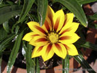 Gazania in flower on sunny day close up