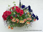 Colourful hanging basket in full flower