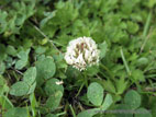 Clover flower in lawn close up
