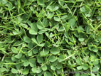 Clover growing in lawn close up