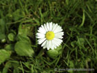 Daisy flower in lawn close up