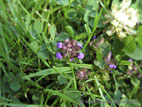 Purple Selfheal flower in grass close up