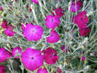 Pink Lychnis flowers with silver foliage