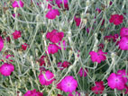 Pink Lychnis flowers with grey foliage