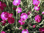 Pink Lychnis flowers with silver grey foliage