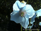 Meconopsis in flower close up