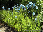 Group of Meconopsis in flower