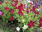 Nicotiana flowers close up