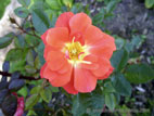 Orange coloured patio rose in flower