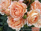 Peach coloured patio roses close up