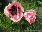 Pink Giant Poppy flowers