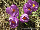 Purple crocus in flower