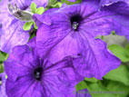 Purple petunia flowers close up