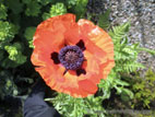 Red Giant Poppy in flower