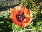 Red Giant Poppy in flower on sunny day