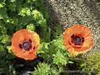 Red Giant Poppies in flower