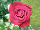 Red rose in flower