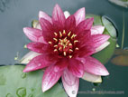 Red Water Lilly in flower