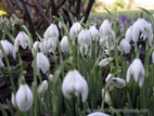 Snowdrops in flower close up