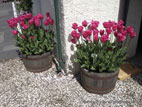 Tulips flowering in wooden barrels