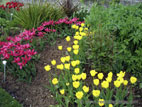 Tulips in flower - Glenarm Walled Garden border