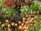 Tulips in flower in border - close up