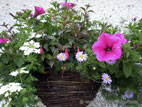 Colourful wicker hanging basket in full flower