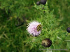 Pale purple thistle flower with hoverfly close up