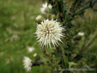 White thistle in flower close up