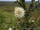 White thistle flower close up